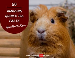 Amazing Guinea Pig Facts You Need to Know