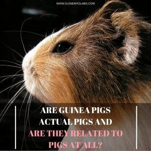 Are guinea pigs pigs and are they related to pigs at all