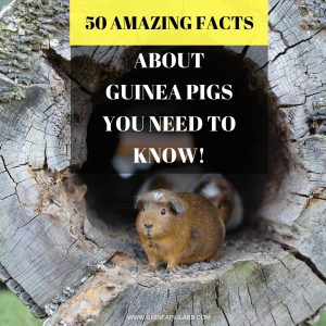 Guinea Pig Facts You Need To Know