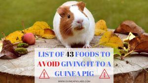 What Guinea pig food to Avoid Giving it to Them
