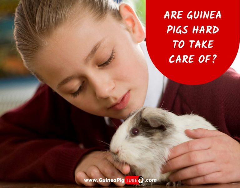 Are Guinea Pigs Hard to Take Care Of_