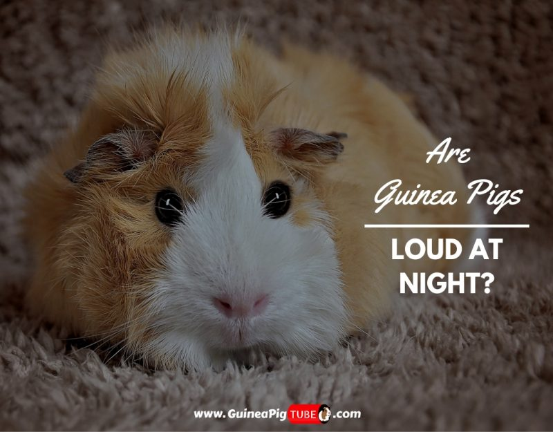 Are Guinea Pigs Loud At Night