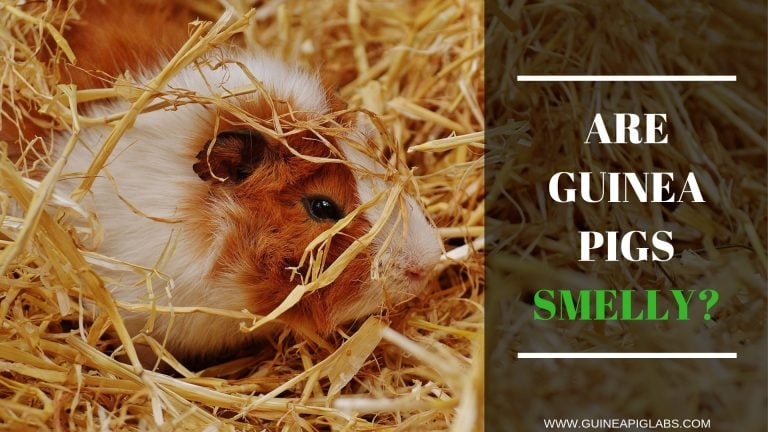 Are Guinea Pigs Smelly