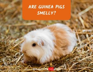 Are Guinea Pigs Smelly_