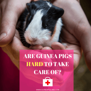 Are guinea pigs hard to take care of