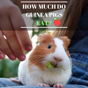 How Much Do Guinea Pigs Eat