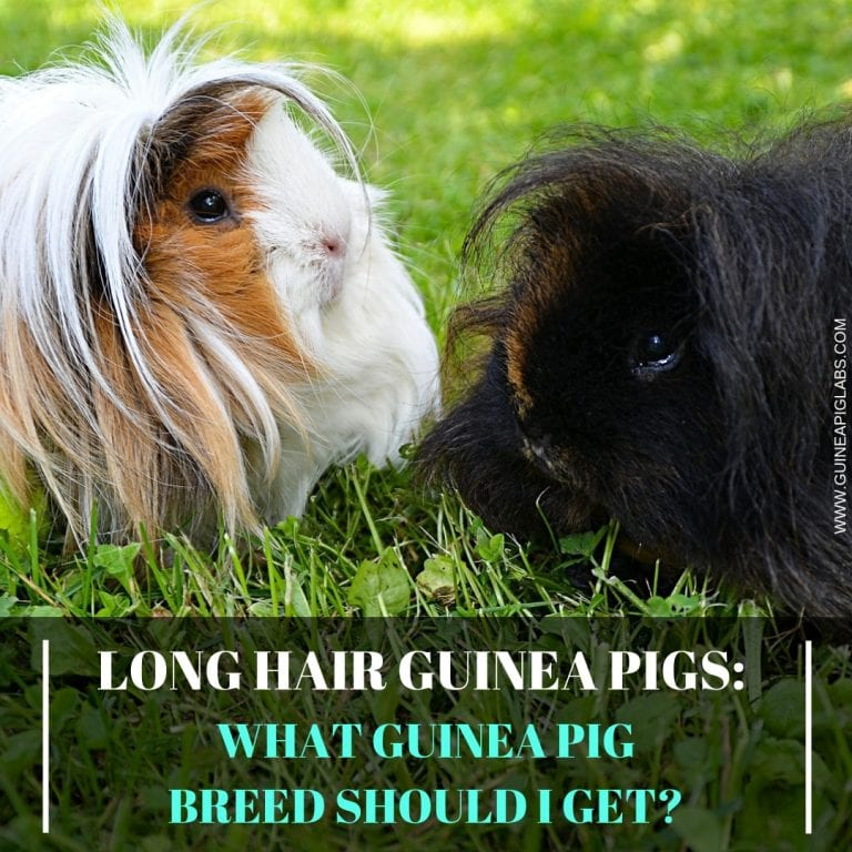 Long Hair Guinea Pigs What Guinea Pig Breed Should I Get