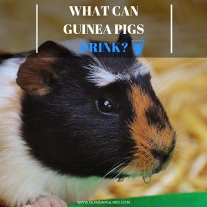 What Can Guinea Pigs Drink