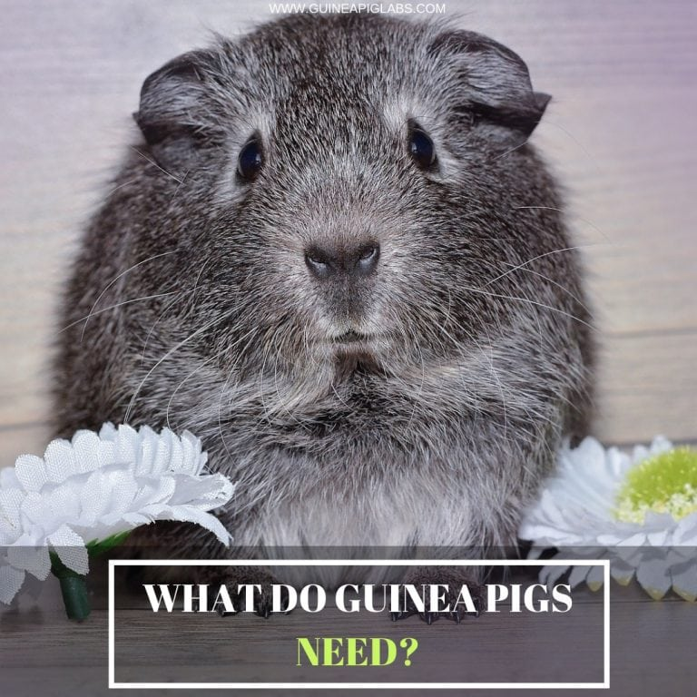 What Do Guinea Pigs Need