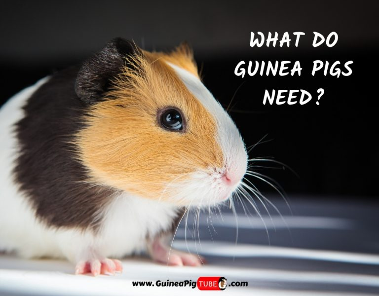 What Do Guinea Pigs Need_