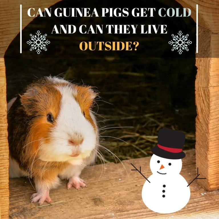 Can Guinea Pigs Get Cold