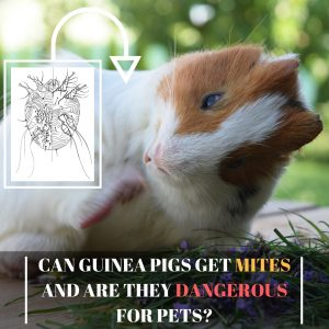 Can Guinea Pigs Get Mites and Are They Dangerous for Pets