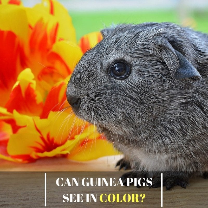 Can Guinea Pigs See In Color?