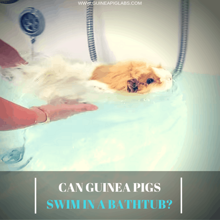 Can Guinea Pigs Swim In A Bathtub_
