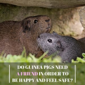 DoGuinea Pigs Need A Friend