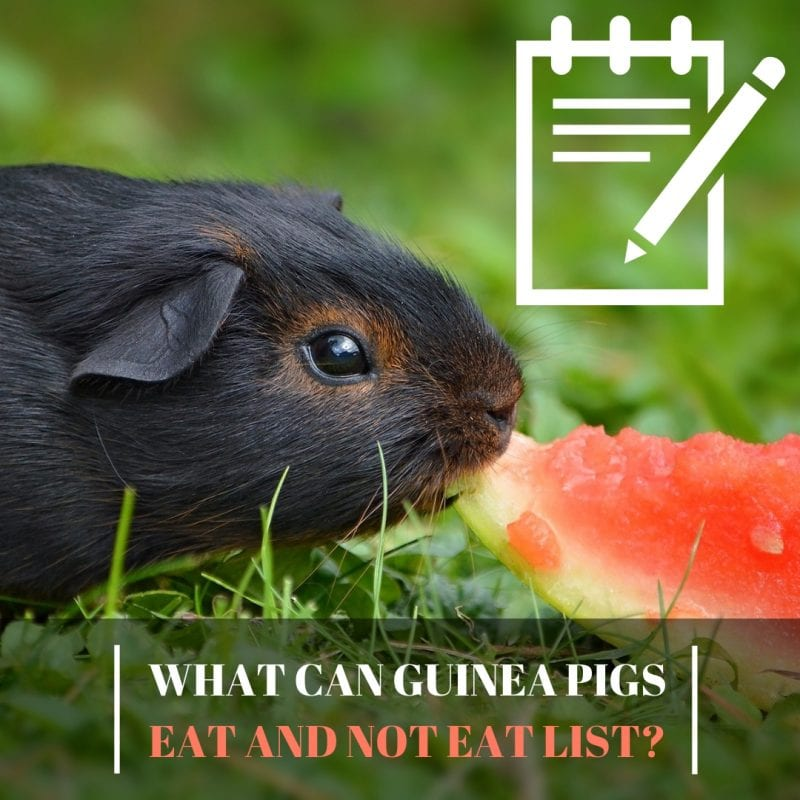 What can guinea pigs eat and not eat list