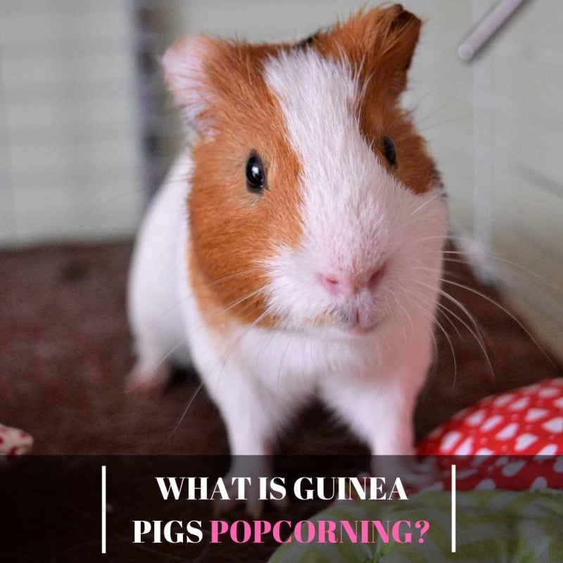 What is Guinea Pigs Popcorning