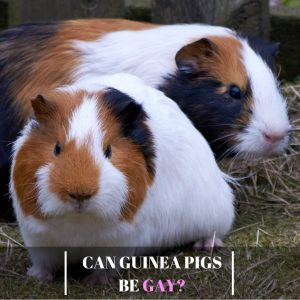 Can Guinea Pigs Be Gay