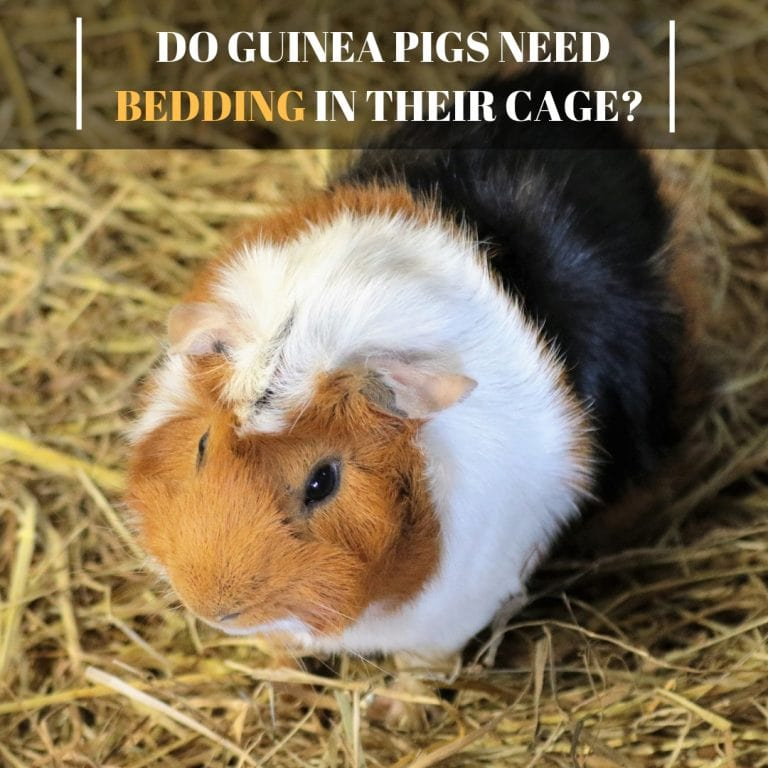Do Guinea Pigs Need Bedding in Their Cage