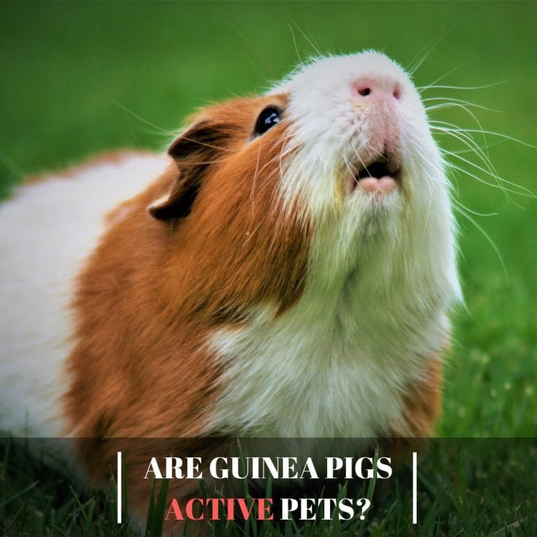Are Guinea Pigs Active Pets