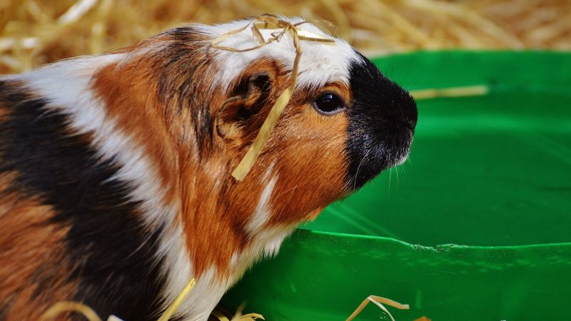 Benefits and Downsides of Drinking Water out of a Bowl for Guinea Pigs