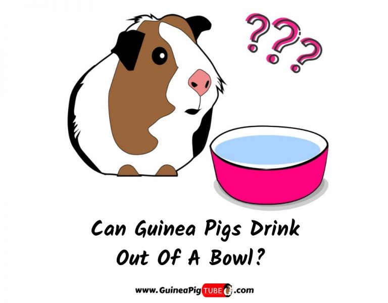 Can Guinea Pigs Drink Out Of A Bowl