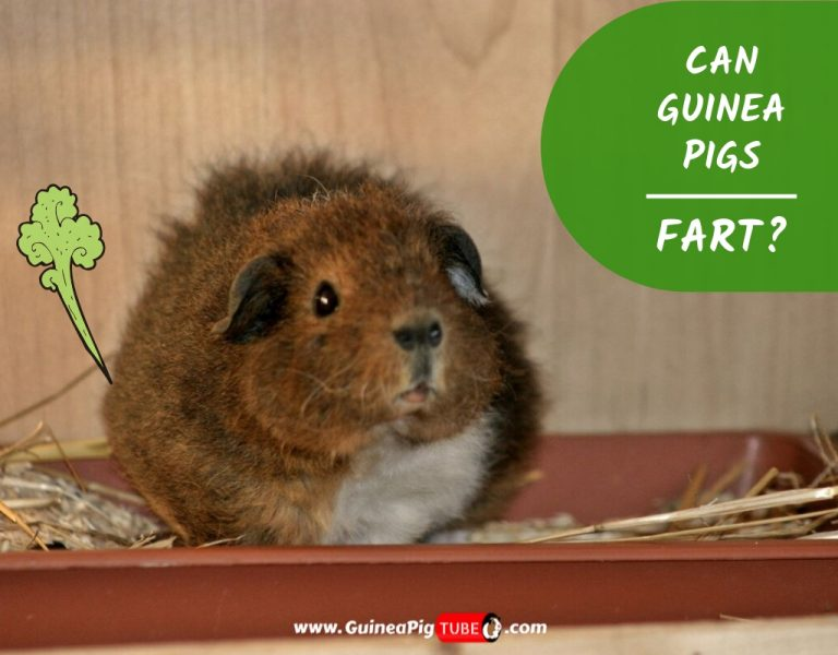 Can Guinea Pigs Fart Everything You Need to Know