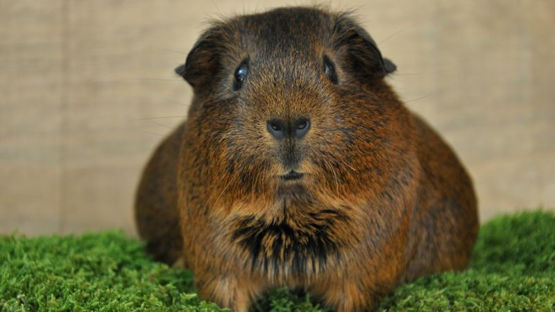 Causes of Gas and Bloat in Guinea Pigs