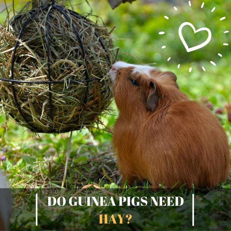 Do Guinea Pigs Need Hay