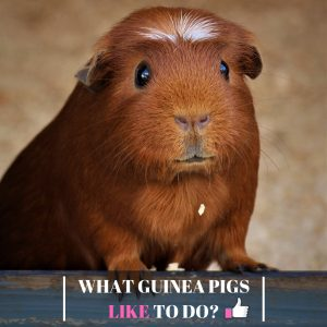 What Guinea Pigs Like to Do