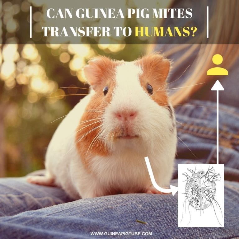 Can Guinea Pig Mites Transfer to Humans