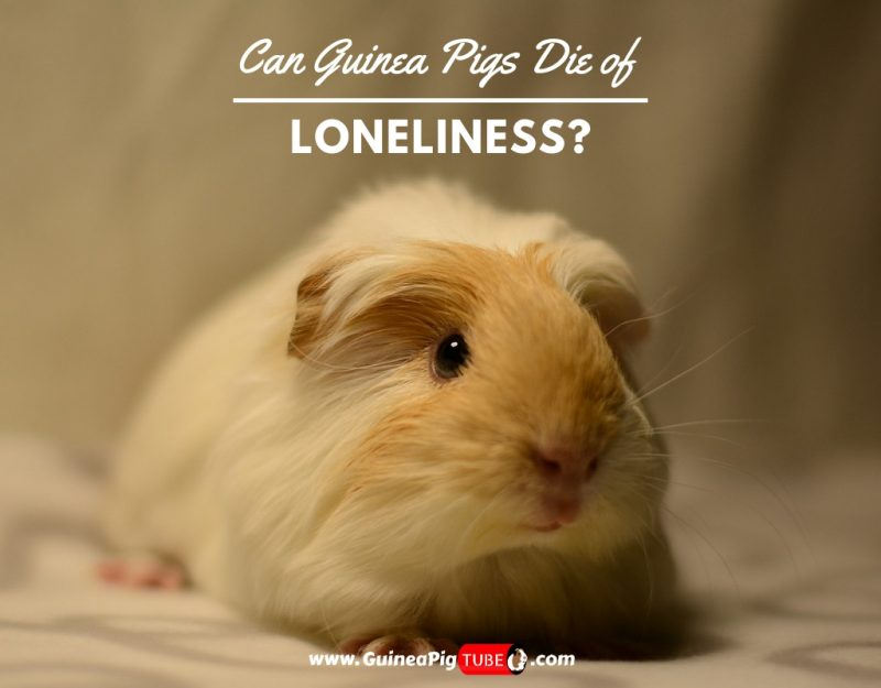 Can Guinea Pigs Die of Loneliness