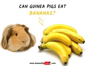 Can Guinea Pigs Eat Bananas (Benefits, Risks, Serving Size & More)