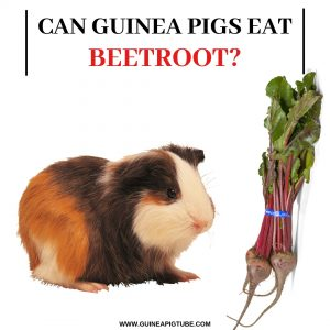 Can Guinea Pigs Eat Beetroot