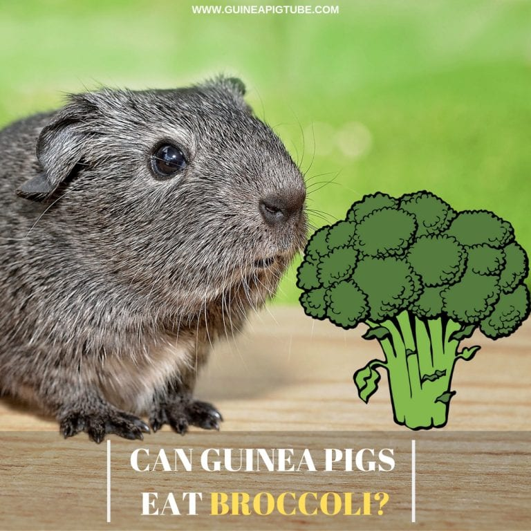 Can Guinea Pigs Eat Broccoli