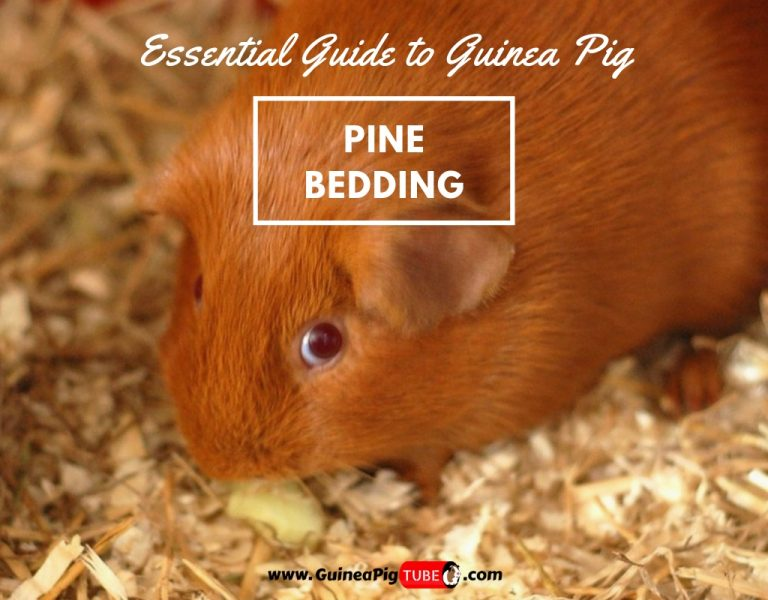 Guinea Pig Pine Bedding Can Guinea Pigs Use Pine Bedding