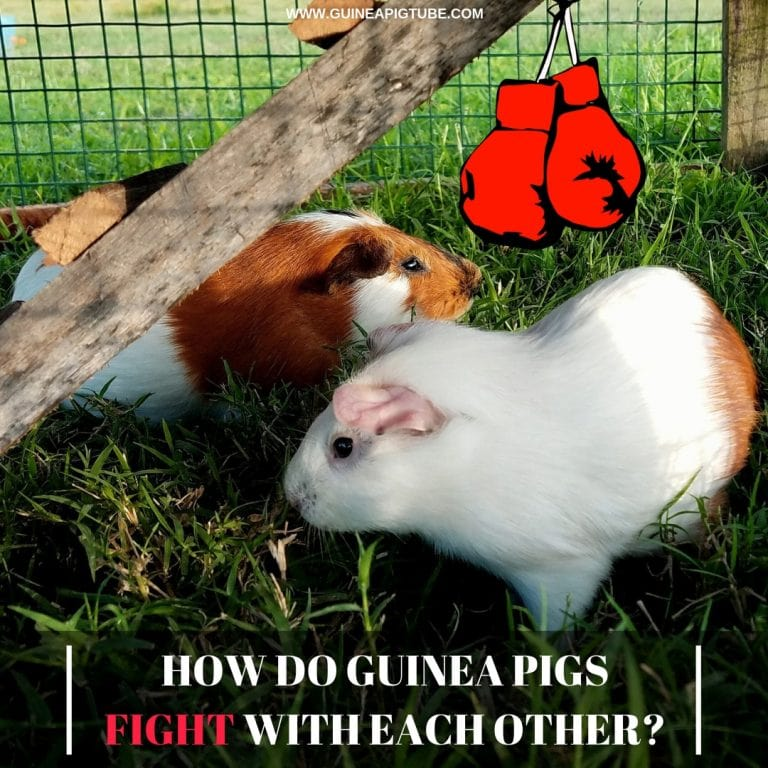 How Do Guinea Pigs Fight With Each Other