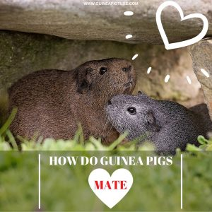 How do Guinea Pigs Mate