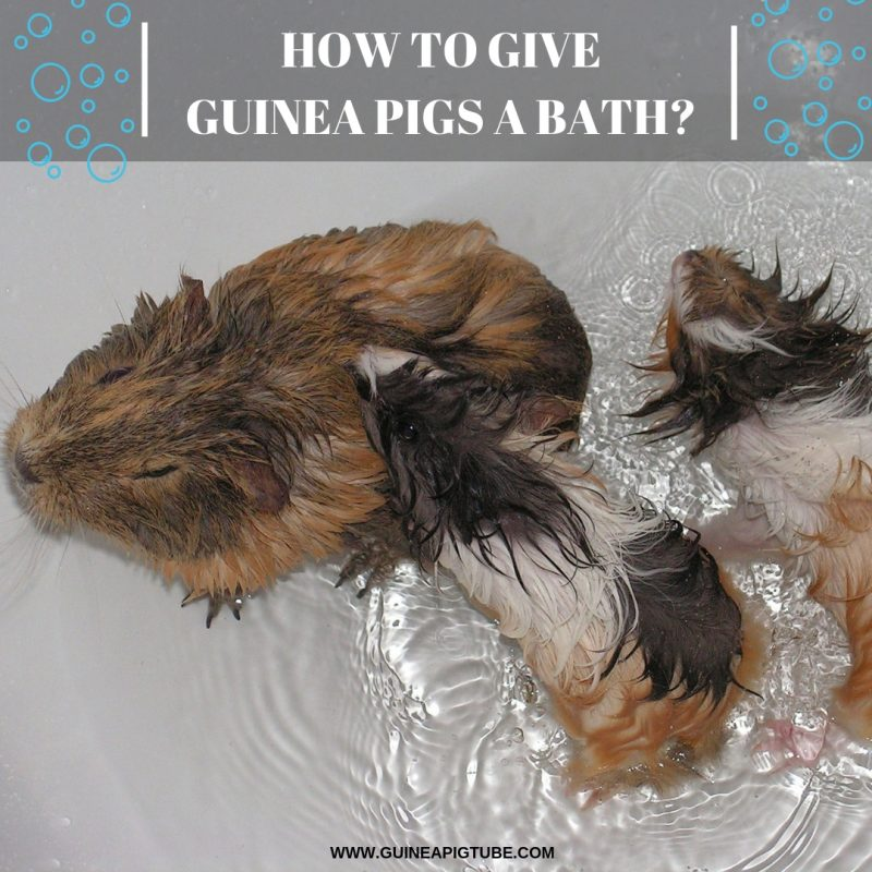 How to Give Guinea Pigs a Bath