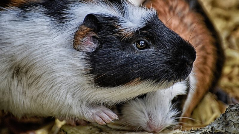 Preventing and Stopping Fights Between Guinea Pigs