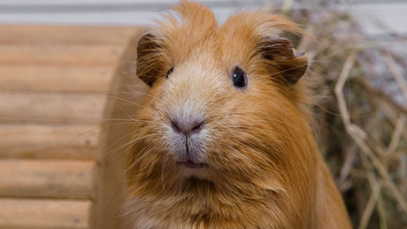 The Pros & Cons of Boars - Male Guinea Pig