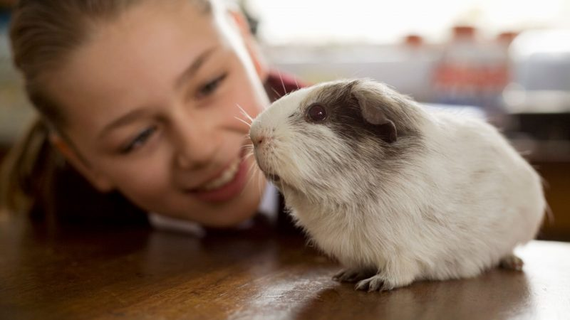 What Location Do Guinea Pigs Like for Petting - Inside or Outside of the Cage
