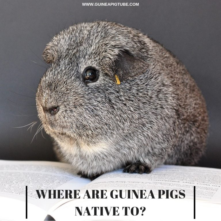 What are Guinea Pigs Native To