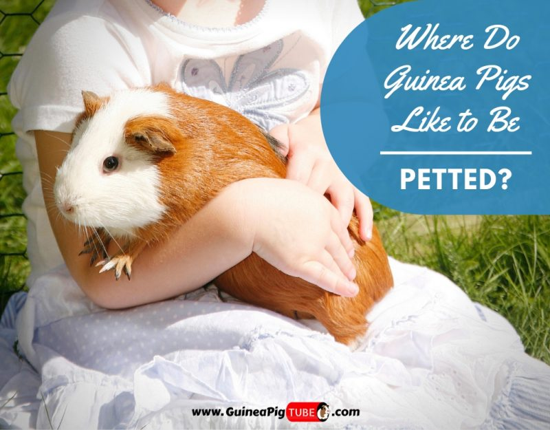 Where Do Guinea Pigs Like to Be Petted