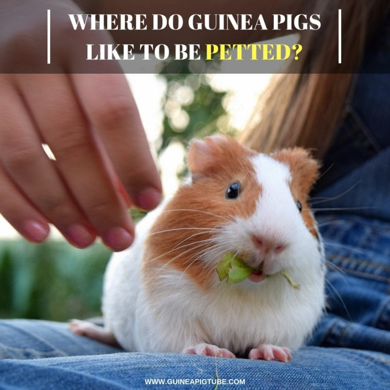 bdbeff40 Where Do Guinea Pigs Like to Be Petted? - Guinea Pig Tube