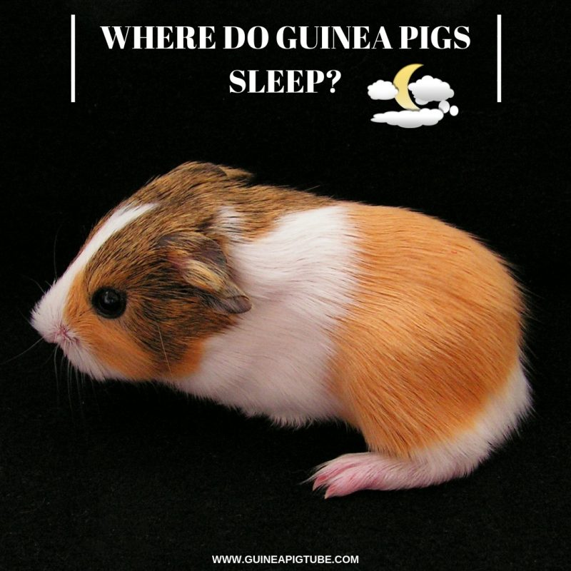 Where do Guinea Pigs Sleep
