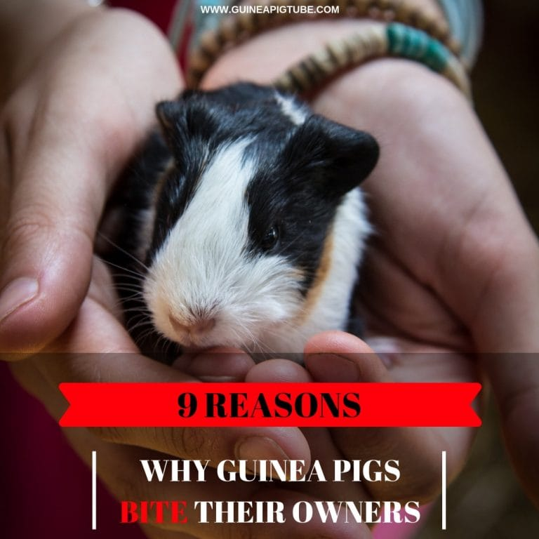 Why Guinea Pigs Bite Their Owners
