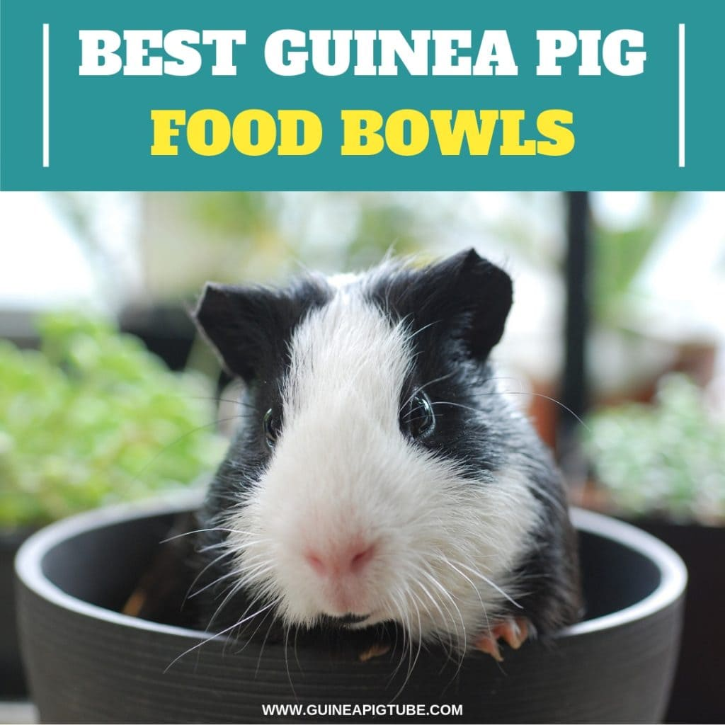 Best Guinea Pig Food Bowls A Helpful Guide