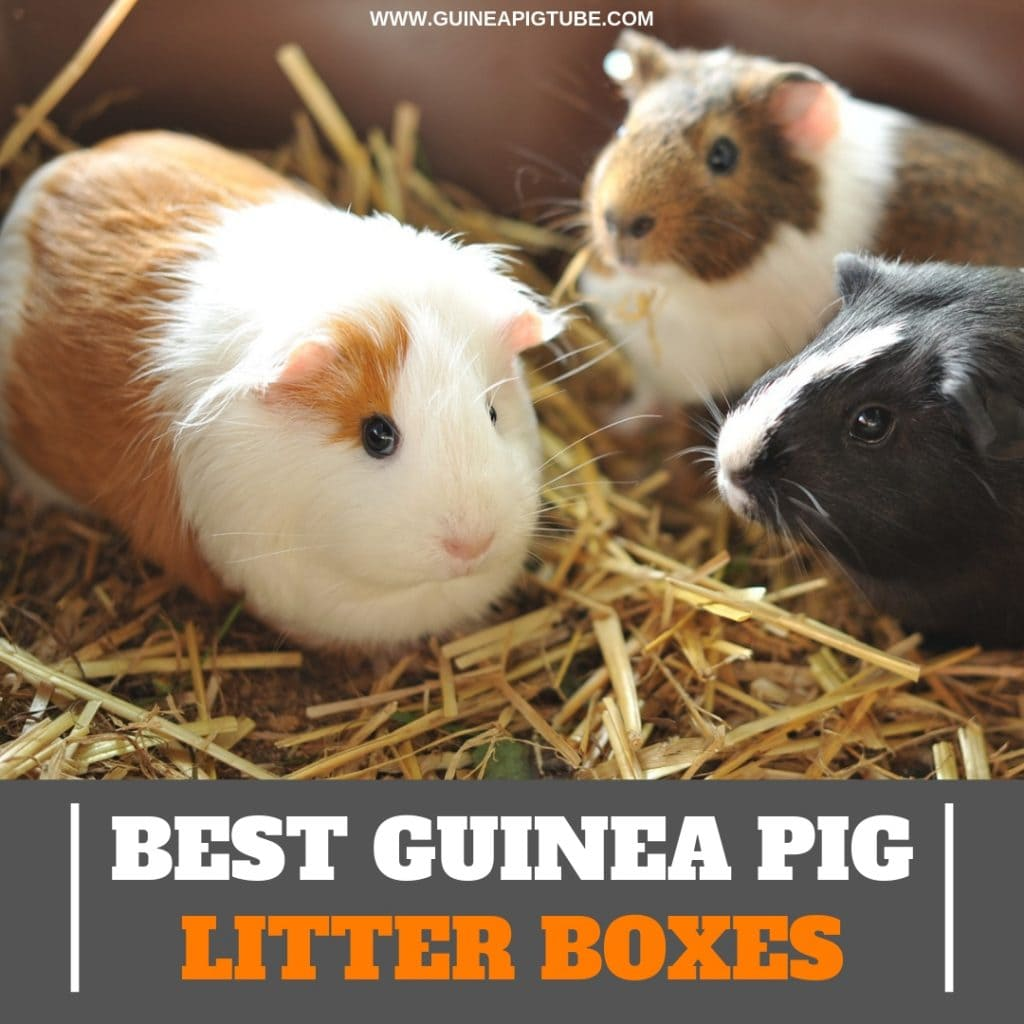 Best Guinea Pig Litter Boxes A Helpful Guide
