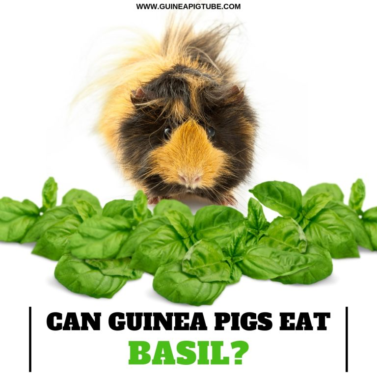 Can Guinea Pigs Eat Basil